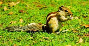 Ινδικός σκίουρος στοκ εικόνες