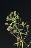 Ινδικός σπόρος ψύλλων  psyllium Στοκ φωτογραφία με δικαίωμα ελεύθερης χρήσης