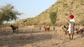 Ινδικός φύλακας βοοειδών στον τομέα με τα βοοειδή που βόσκει κατά μέρος απόθεμα βίντεο