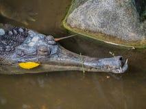 Ινδικός gavial (gangeticus Gharial - Gavialis) στοκ εικόνα