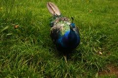 Ινδικό αρσενικό Peacock Στοκ Εικόνες