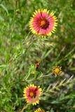 Ινδικό γενικό λουλούδι Στοκ Εικόνα