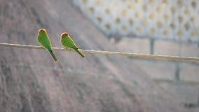 Ινδικό ζευγάρι πουλιών orientalis Merops φιλμ μικρού μήκους