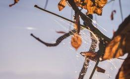 ινδικό καλοκαίρι Φύλλα και ιστοί αράχνης φθινοπώρου Στοκ Εικόνες