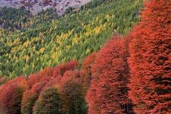 ινδικό καλοκαίρι Όμορφα χρωματισμένα δέντρα, δάσος, κατά μήκος Carretera νότιου, Χιλή Στοκ εικόνα με δικαίωμα ελεύθερης χρήσης