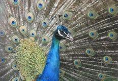 ινδικό πορτρέτο peacock Στοκ εικόνα με δικαίωμα ελεύθερης χρήσης