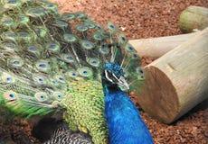 ινδικό πορτρέτο peacock Στοκ Εικόνες