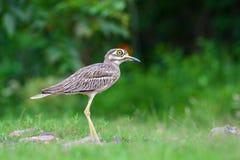 Ινδικό πουλί παχύς-γονάτων Στοκ εικόνα με δικαίωμα ελεύθερης χρήσης