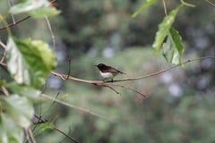 Ινδικό πουλί Στοκ Εικόνες