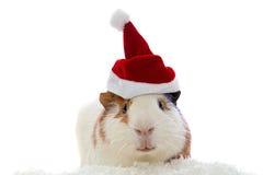 Ινδικό χοιρίδιο στο καπέλο Χριστουγέννων Στοκ φωτογραφίες με δικαίωμα ελεύθερης χρήσης