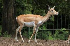 Ινδικό blackbuck (cervicapra Antilope) Στοκ φωτογραφία με δικαίωμα ελεύθερης χρήσης