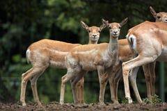 Ινδικό blackbuck (cervicapra Antilope) Στοκ Φωτογραφία