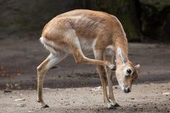 Ινδικό blackbuck (cervicapra Antilope) Στοκ εικόνες με δικαίωμα ελεύθερης χρήσης