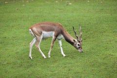 Ινδικό cervicapra Antilope blackbuck Στοκ εικόνες με δικαίωμα ελεύθερης χρήσης