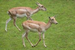 Ινδικό cervicapra Antilope blackbuck Στοκ φωτογραφία με δικαίωμα ελεύθερης χρήσης