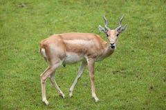 Ινδικό cervicapra Antilope blackbuck Στοκ Φωτογραφίες