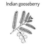 Ινδικό emblica Phyllanthus ριβησίων, ή emblic myrobalan, robalan, Malacca δέντρο, amla με τα φύλλα και τα μούρα ελεύθερη απεικόνιση δικαιώματος