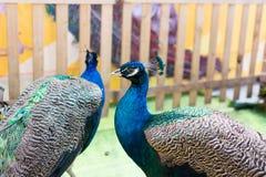 Ινδικό Peacocks Στοκ Εικόνα