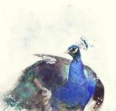 Ινδικό Peafowl Watercolor Στοκ Φωτογραφία