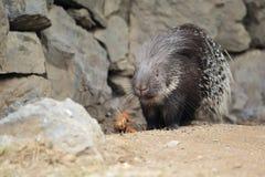 Ινδικό porcupine Στοκ Φωτογραφία