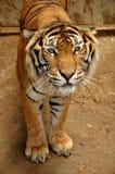 ινδοκινέζικη τίγρη Στοκ φωτογραφία με δικαίωμα ελεύθερης χρήσης