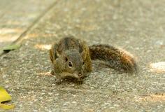 Ινδοκινέζικος επίγειος σκίουρος (berdmorei Menetes) Στοκ φωτογραφία με δικαίωμα ελεύθερης χρήσης