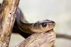 Ινδοκινέζικο φίδι αρουραίων Στοκ Εικόνες