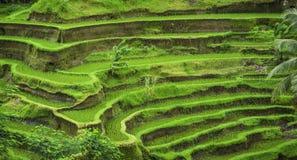 Ινδονησιακός τομέας ρυζιού Στοκ Φωτογραφίες