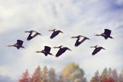 διογκωμένο μαύρο σφύριγμ&alpha Στοκ φωτογραφία με δικαίωμα ελεύθερης χρήσης