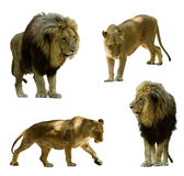 λιοντάρια Απομονωμένος στο λευκό Στοκ Εικόνες