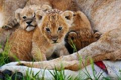 λιοντάρια στοκ φωτογραφίες