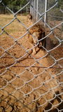 λιοντάρια Στοκ εικόνες με δικαίωμα ελεύθερης χρήσης