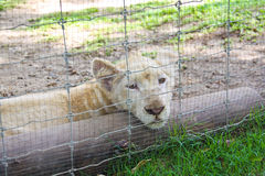 λιοντάρι νυσταλέο Στοκ Φωτογραφία