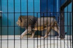 λιοντάρι Στοκ Εικόνες