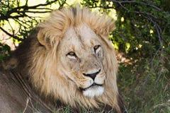 λιοντάρι Στοκ Εικόνα