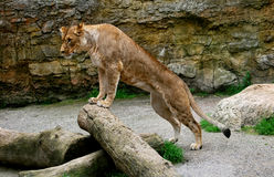 λιονταρίνα Στοκ εικόνα με δικαίωμα ελεύθερης χρήσης