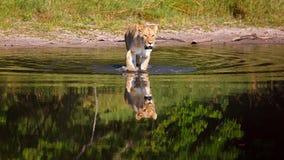 λιονταρίνα Στοκ Φωτογραφίες