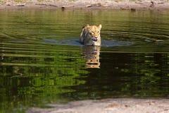 λιονταρίνα Στοκ Εικόνα