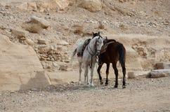 Ιορδανία, Petra Άσπρο και καφετί άλογο σε ένα υπόβαθρο των πετρών α Στοκ εικόνα με δικαίωμα ελεύθερης χρήσης