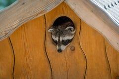 1 Ιουλίου 2018, Wildpark Assling Αυστρία: Ένα loto Procyon ρακούν στοκ φωτογραφία