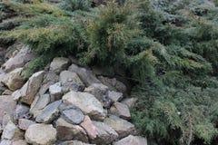 Ιουνίπερος στους βράχους Στοκ Φωτογραφία