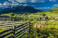 17 Ιουλίου 2016 - πρόβατα rgraze σε Hastings Mesa κοντά σε Ridgway, Κολοράντο από το φορτηγό Στοκ Φωτογραφίες