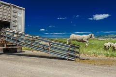17 Ιουλίου 2016 - τα ranchers προβάτων ξεφορτώνουν τα πρόβατα σε Hastings Mesa κοντά σε Ridgway, Κολοράντο από το φορτηγό Στοκ Εικόνες