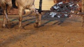 Ιππικός και ένα άλογο απόθεμα βίντεο