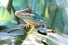 Ιππότης σαυρών Iguanidae anole Στοκ Εικόνες
