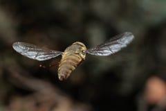 ιπτάμενο έντομο λιβελλουλών ανασκόπησης μπλε Στοκ Φωτογραφίες