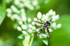 Ιπτάμενο έντομο στο λουλούδι Στοκ φωτογραφία με δικαίωμα ελεύθερης χρήσης