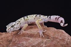 Ιρανικό παρακολουθημένο λίπος gecko (angramainyu Eublepharis) στοκ φωτογραφία