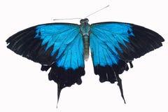Ιριδίζουσα μπλε πεταλούδα ulysses Στοκ φωτογραφίες με δικαίωμα ελεύθερης χρήσης