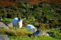 Ιρλανδικά μαύρα πρόβατα προσώπου στοκ φωτογραφία